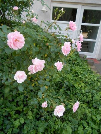 玄関のバラ1