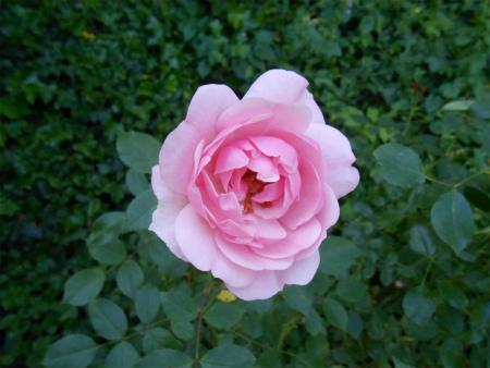 玄関のバラ2