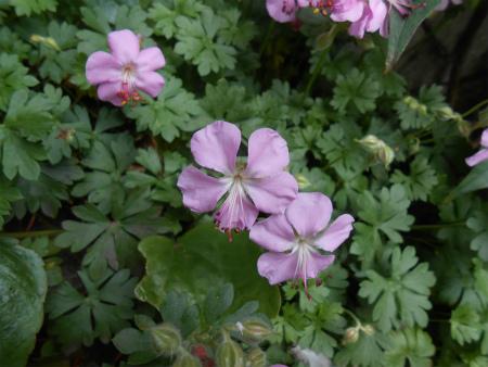 バラの下のピンクの花