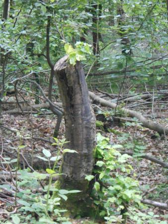 枯れ木に新芽