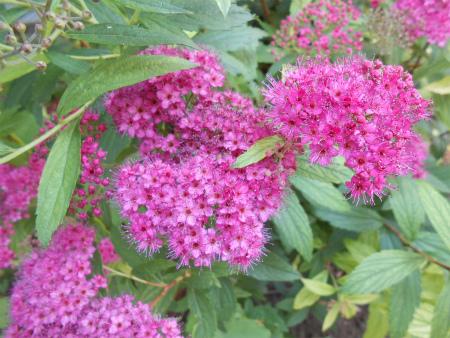 庭のシモツケ3