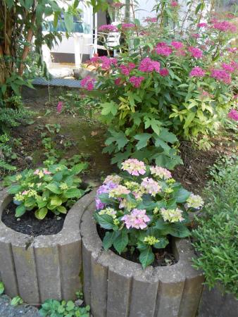 庭のシモツケ1