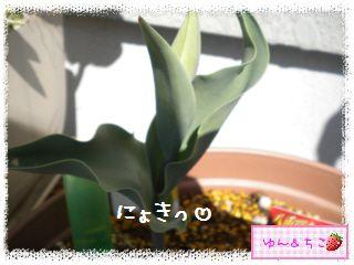 ちこちゃんのチューリップ観察日記★8★にょきっ-2