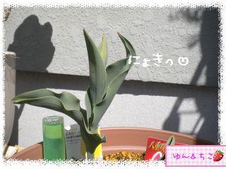 ちこちゃんのチューリップ観察日記★8★にょきっ-3