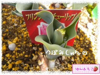 ちこちゃんのチューリップ観察日記★8★にょきっ-4