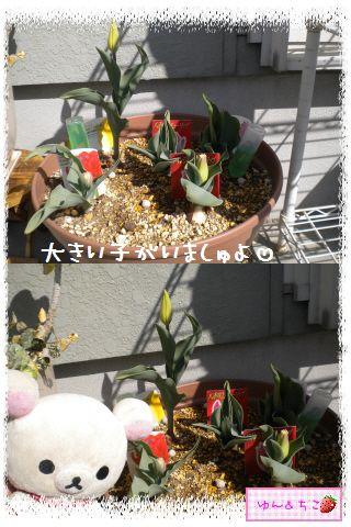 ちこちゃんのチューリップ観察日記★9★にょきにょき~-2