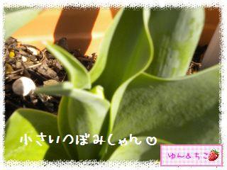 ちこちゃんのチューリップ観察日記★9★にょきにょき~-6