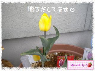 ちこちゃんのチューリップ観察日記★10★いつ咲きましゅかぁ??-4