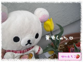 ちこちゃんのチューリップ観察日記★11★咲いた??-2