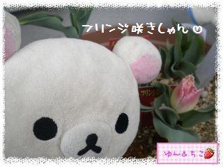 ちこちゃんのチューリップ観察日記★11★咲いた??-3