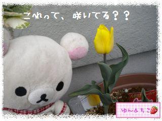 ちこちゃんのチューリップ観察日記★11★咲いた??-4