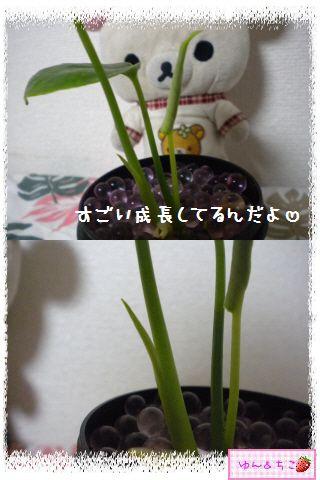 ちこちゃんの観葉植物日記1-3
