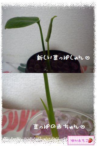 ちこちゃんの観葉植物日記1-5