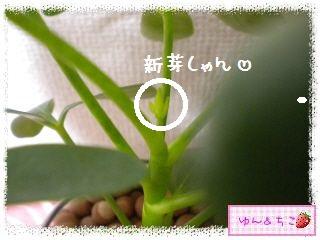 ちこちゃんの観葉植物日記1-11