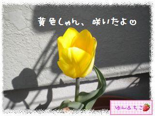 ちこちゃんのチューリップ観察日記★13★黄色しゃん咲いたよ-2