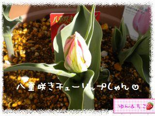 ちこちゃんのチューリップ観察日記★13★黄色しゃん咲いたよ-3