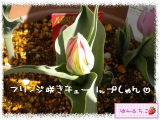 ちこちゃんのチューリップ観察日記★14★フリンジ咲き♪-2