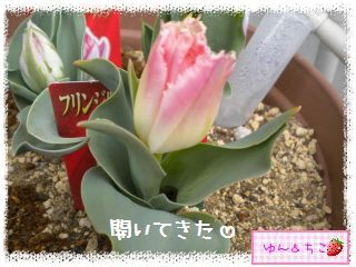 ちこちゃんのチューリップ観察日記★14★フリンジ咲き♪-3