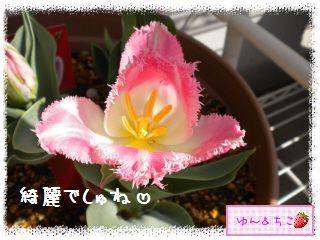 ちこちゃんのチューリップ観察日記★14★フリンジ咲き♪-5