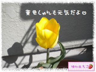 ちこちゃんのチューリップ観察日記★14★フリンジ咲き♪-6