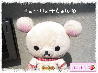 ちこちゃんのチューリップ観察日記★15★いっぱいのつぼみしゃん-1