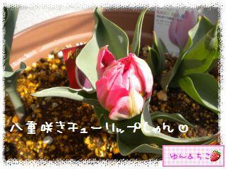 ちこちゃんのチューリップ観察日記★15★いっぱいのつぼみしゃん-5