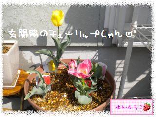 ちこちゃんのチューリップ観察日記★15★いっぱいのつぼみしゃん-6
