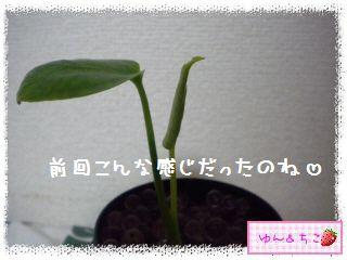 ちこちゃんの観葉植物観察日記2-3