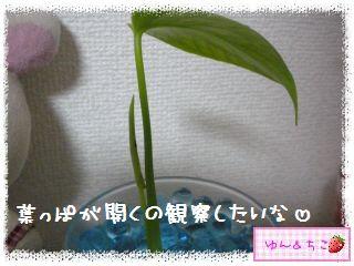 ちこちゃんの観葉植物観察日記2-6