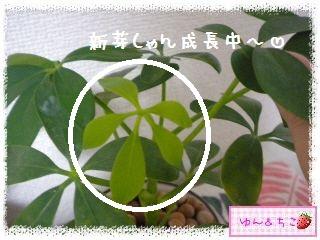 ちこちゃんの観葉植物観察日記2-8