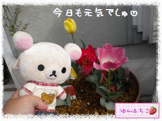 ちこちゃんのチューリップ観察日記★16★残念なお知らせ-2