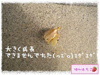 ちこちゃんのチューリップ観察日記★16★残念なお知らせ-4