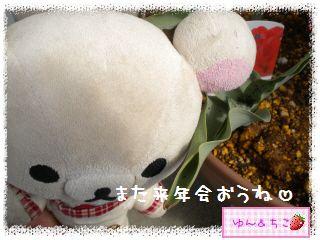 ちこちゃんのチューリップ観察日記★16★残念なお知らせ-5