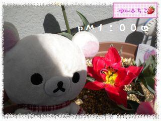 ちこちゃんのチューリップ観察日記★17★八重咲きなのぉ~-4