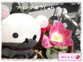 ちこちゃんのチューリップ観察日記★17★八重咲きなのぉ~-5