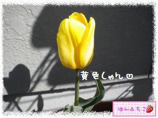 ちこちゃんのチューリップ観察日記★17★八重咲きなのぉ~-6