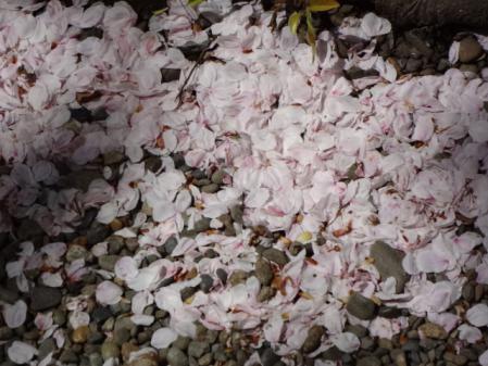 2012.5.17桜2