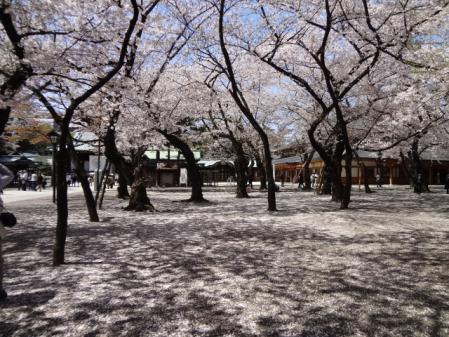 2012.5.17桜1