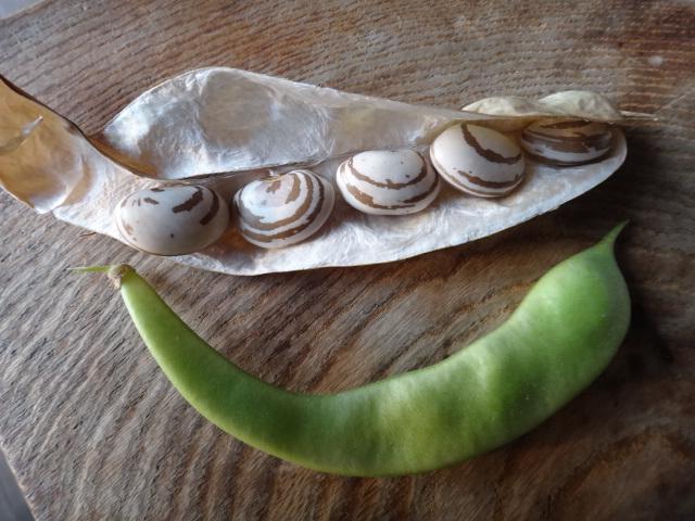 モロッコいんげん豆