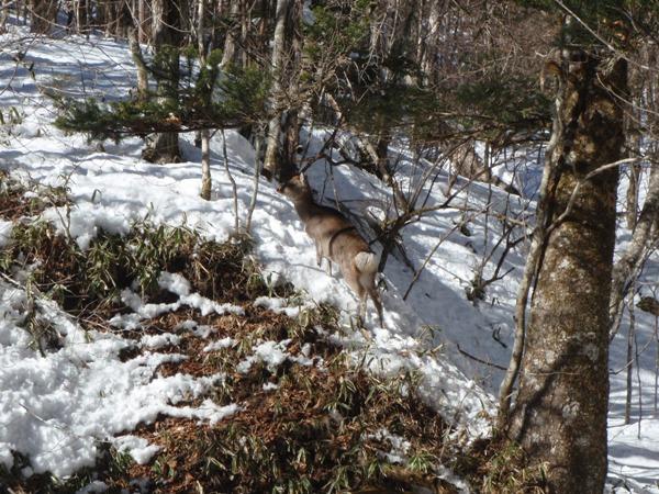 勝縁荘の鹿