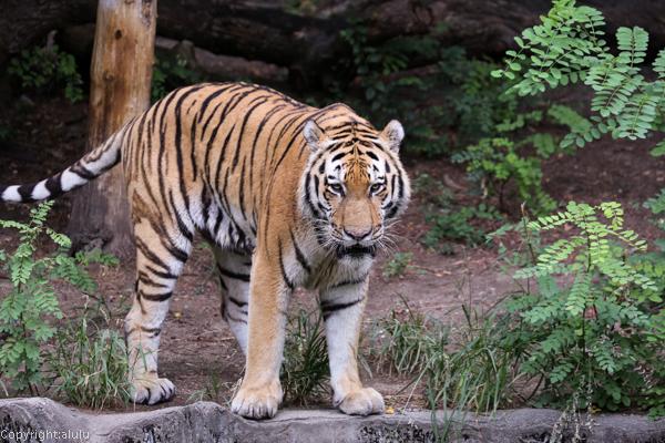 アムールトラ 天王寺動物園