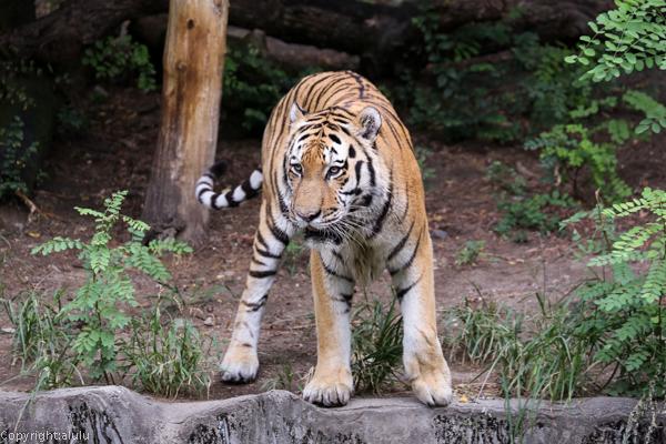 動物園 アムールトラ
