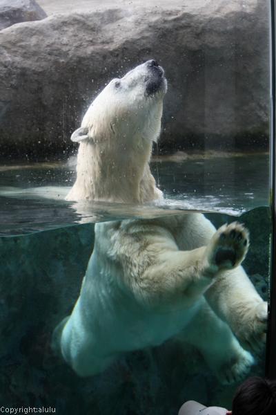 旭山動物園 シロクマ