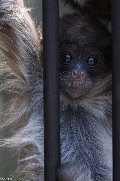 ケナガクモザル 動物園