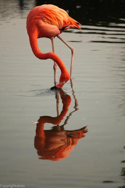 ベニイロフラミンゴ 東武動物公園