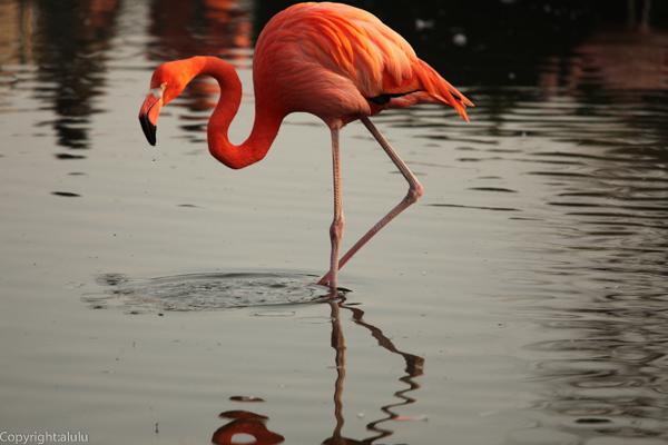 ベニイロフラミンゴ 動物園