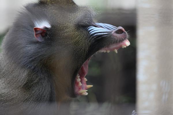 マンドリル おびひろ動物園