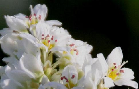 蕎麦の花ppl