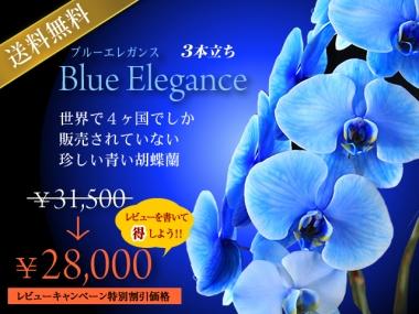 青い胡蝶蘭(ブルーエレガンス)