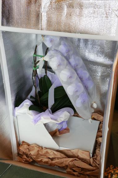 胡蝶蘭の宅配(冬季特別梱包)